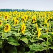 Sunflower - stock photo — Stock Photo