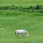 White horse eating grass — Stock Photo