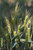 Wheat field — ストック写真