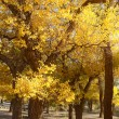 Golden trees in autumn — Stock Photo