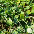 Stock Photo: Green sweet potato leaves