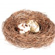 Bird's nest with two eggs — Stock Photo