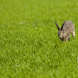 Hare running through green grass - Stock Photo