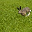 Hare Running over a green field - Stock Photo