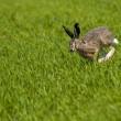 Stock Photo: Hare Running over green field