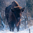 Stock Photo: EuropeBison (Bison bonasus), male, looking in Winter