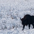 Stock Photo: Male of EuropeBison (Bison bonasus) in Winter