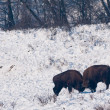 Two European Bisons (Bison bonasus) fighting on Snow - Stock Photo