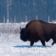 European Bison (Bison bonasius) in Winter — Стоковая фотография