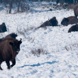Stock Photo: Herd of EuropeBison (Bison bonasus) resting