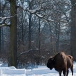 Stock Photo: EuropeBison (Bison bonasus) in forest in Winter