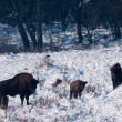 European Bison (Bison bonasus) family — Stock Photo