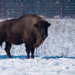European Bison (Bison bonasus) in Winter — Stock Photo