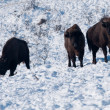 Stock Photo: Three EuropeBisons in Winter