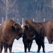 Stock Photo: EuropeBison looking to Calves