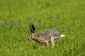 Hare running — Stock Photo
