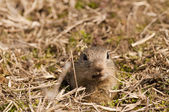 European Ground Squirell or Souslik Portrait — Stock Photo
