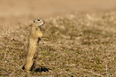 Souslik or European Ground Squirrel — Stock Photo