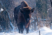 European Bison (Bison bonasus), male, looking in Winter — Stock Photo