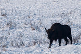 Male of European Bison (Bison bonasus) in Winter — Stock Photo