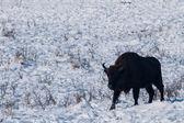 Male of European Bison (Bison bonasus) in Winter — Stock Photo