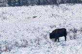 European Bison (Bison bonasus) walking on Snow — Stock Photo