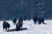 Herd of European Bisons (Bison bonasus) waitnig for food in Winter — Stock Photo