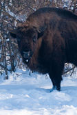 Old Eurpean Bison (Bison bonasus) portrait — Stock Photo