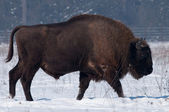 European Bison (Bison bonasius) in Winter — Stock Photo