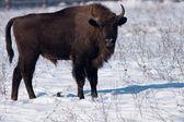 European Bison (Bison bonasus) in winter — Stock Photo