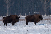 Two Males of Eurpean Bison (Bison bonasus) in Winter — Stock Photo