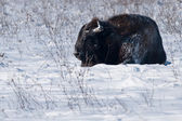 European Bison Rolling Over in Snow — Stock Photo