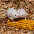 White Lab Mouse with Corn Cob — Stock Photo