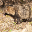 Stock Photo: Racoon Dog