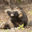 Racoon Dog — Stock Photo #13621512