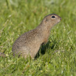 Stock Photo: EuropeGround Squirrel