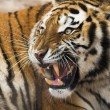 Roaring Tiger - Stock Photo