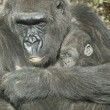 Stock Photo: Gorilla Mother and the baby