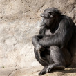 Chimpanzee looking — Stock Photo