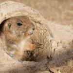 Black Tailed Prairie Dog — Stock Photo #13623009