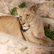 Lioness resting - Stock Photo