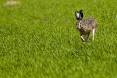 Hare Running on Green Field — Stock Photo