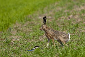 Hare on green field — Stock Photo