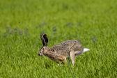 Hare running — Stock Photo