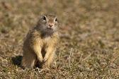 European Ground Squirrel or Souslik — Stock Photo