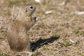 Gopher, Souslik, Ground Squirrel — Stock Photo
