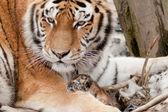 Tiger at zoo — Stock Photo
