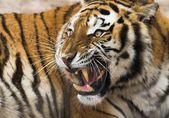 Roaring Tiger — Stock Photo