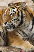 Tigress with tiger child at zoo — Stock Photo