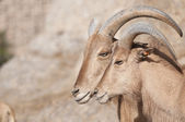 Brabary Sheep Portrait — Stock Photo